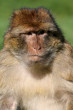 Barbary Macaque Monkey image