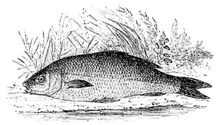 Common Carp image