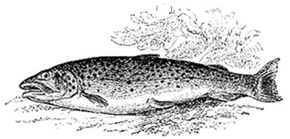 Common Trout image