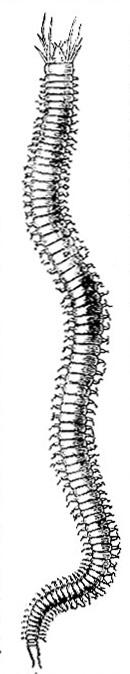 Nereis pelagica image