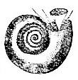 Spirorbis nautiloides image