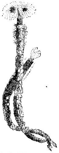 Sabella vesiculosa image