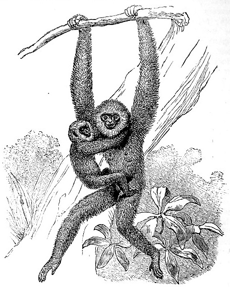 Entellus-like Gibbon image