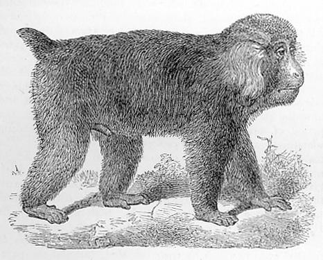 Tibet Macaque image