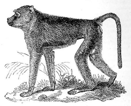 Babuin Baboon image