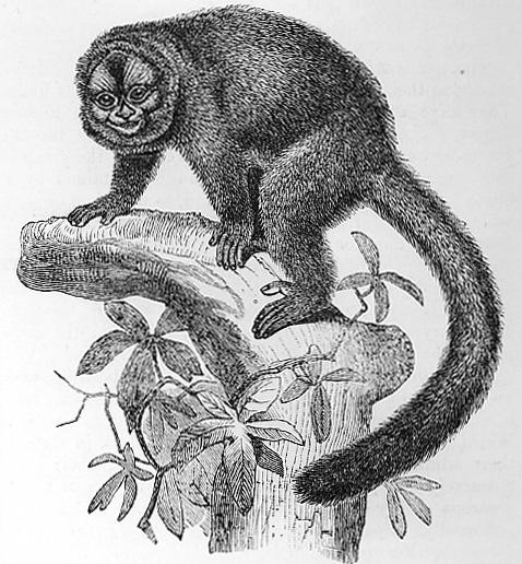 Lemurine Night Ape image