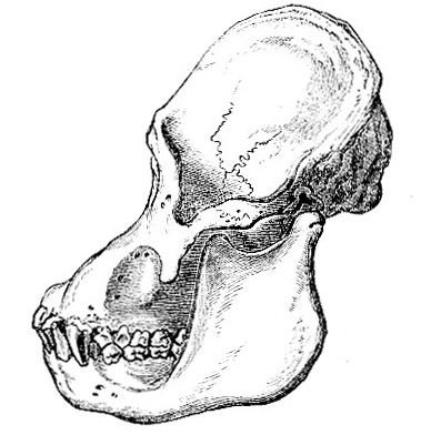 15 -- Side view of the skull of adult Orang (Simia satyrus). From Trans.