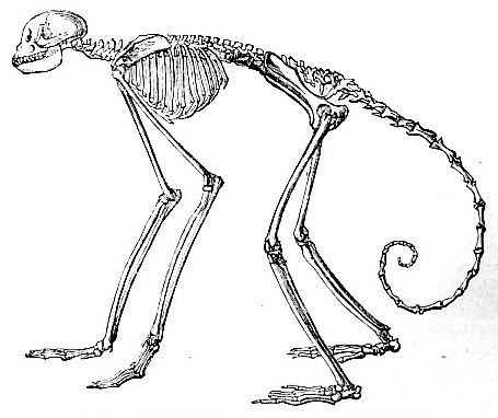Skeleton of Ateles Belzebuth (image)