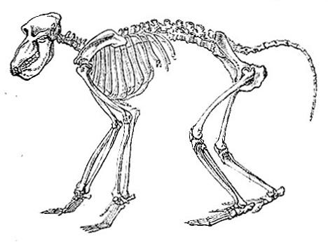Skeleton of Chacma Baboon (image)