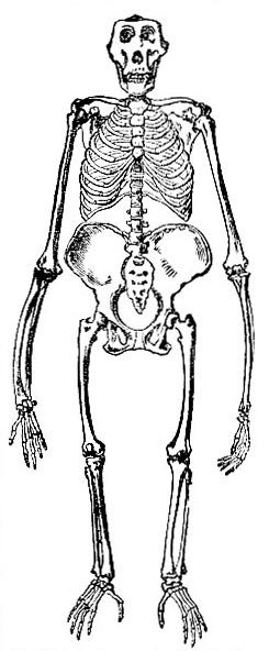 Skeleton of the Gorilla Image