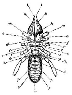 Galeodes araneoides image