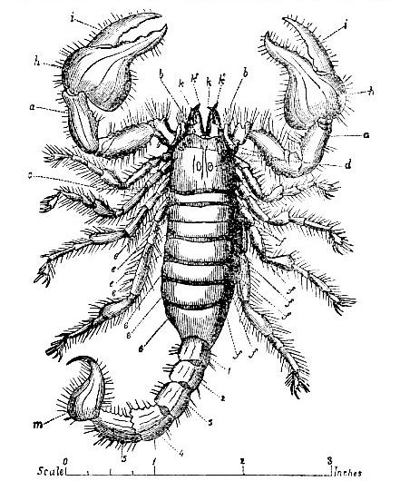 Arachnida - Order V: Scorpionidea - Sub-Order II: Scorpiones ...