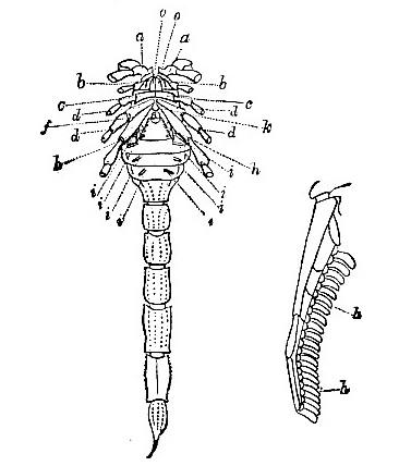 Scorpio Amoreuxii image