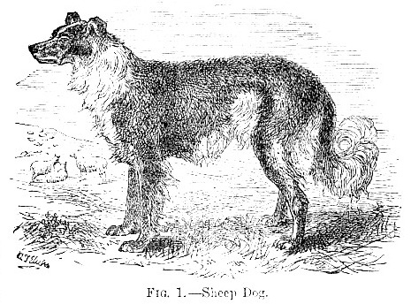 Sheep Dog image
