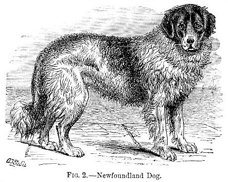 Newfoundland Dog image