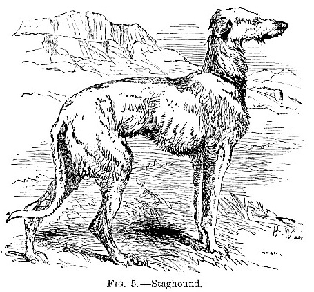 Staghound picture