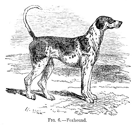 Foxhound picture