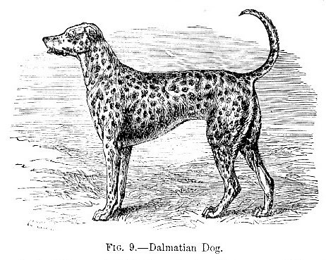 Dalmatian Dogs Extinct Dalmatian Dog Picture