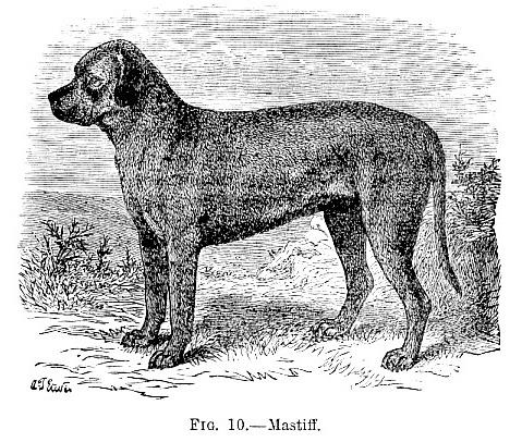 Mastiff picture