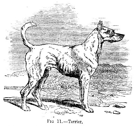 Terrier picture