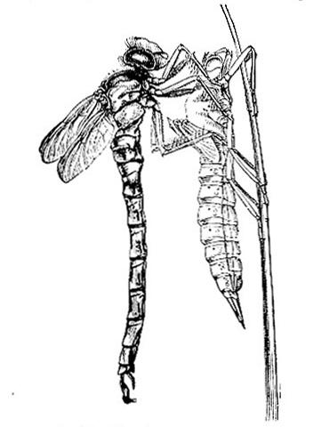 Dragonfly (Fig. 3)