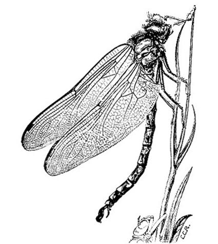 Dragonfly (Fig.4)
