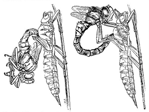 Dragonfly (Figs. 1 and 2)
