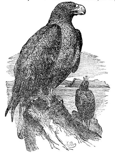 Sea Eagle image