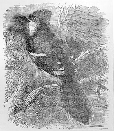 American Blue Jay drawing