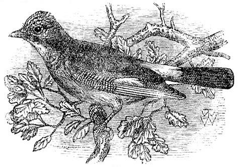 European Jay drawing
