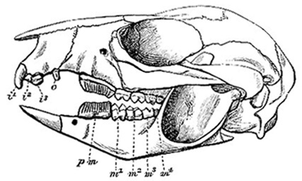 Skull and teeth of Gray's Rat Kangaroo (image)