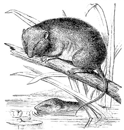Australian Brown-Footed Rat image