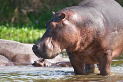 Hippopotamus, Nile River image