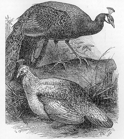 Peafowls drawing
