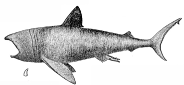 Basking Shark image