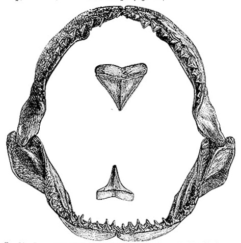 Dentition of the Blue Shark image