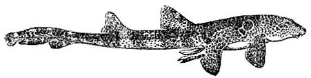 Chiloscyllium trispeculare, one of dogfish sharks (image)