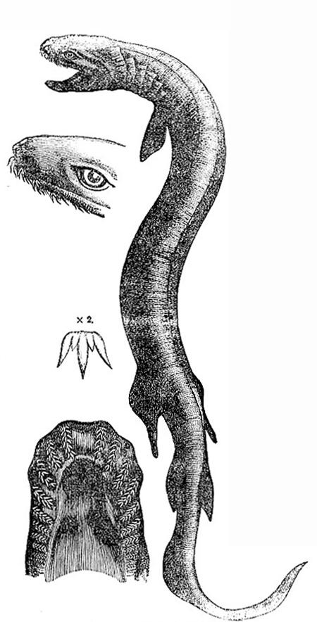 Chlamydoselachus anguineus (image)