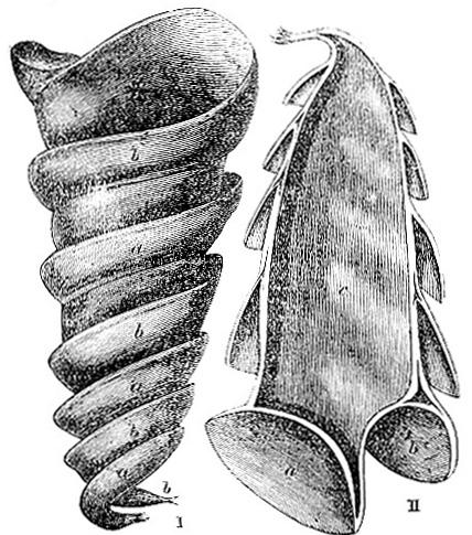Eggshell of the Cestracion philippi (image)