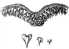 Teeth of Scyllium canicula (image)